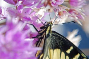 Anise swallowtail butterfly on allium