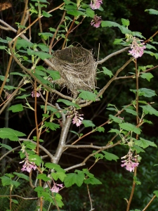 Bird nest in ribes tree