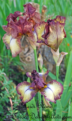 Brown bearded irises
