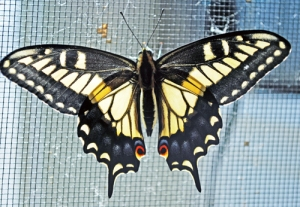 Anise swallowtail butterfly newly emerged