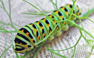 Anise swallowtail caterpillar on fennel