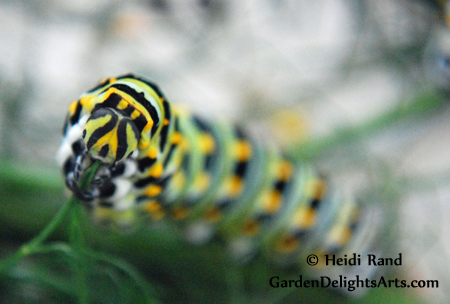 Anise swallowtail butterfly caterpillar eating fennel