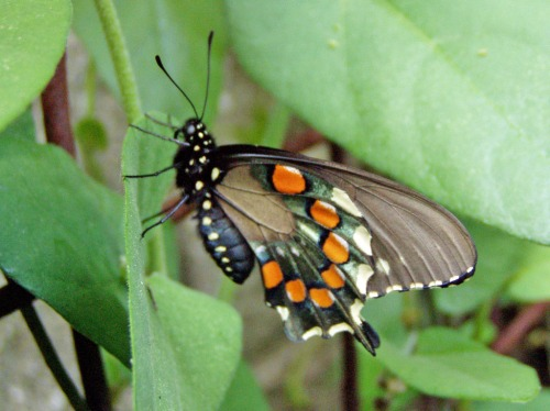 Pipevine swallowtail on pipevine plant