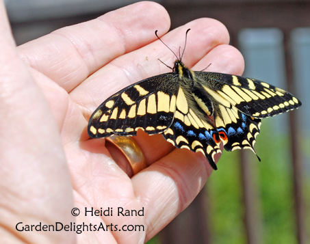 Anise swallowtail butterfly on George's hand